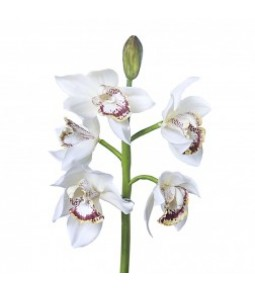 SINGLE CIMBIDIUM ORCAID SPRAY W 5 FLRS 1 BUD CM.39 WHITE